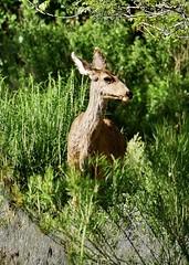 Female Mule Deer Browsing  (Odocoileus hemionus) (Susan Roehl) Tags: usa animal female mammal utah panasonic trail handheld zionnationalpark muledeer browsing visitorcenter springdale 100400mmlens odocoileushermionus lumixdmcgh4 sueroehl nationalparkstour2017 habituatedtopeople indigenoustowesternorthamerica namedfortheirlargeears coth5 ngc