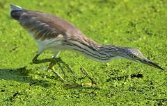 Squacco Heron (MoGoutz) Tags: heron squacco ralloides ardeola ερωδιόσ κρυπτοτσικνιάσ bird hunting kalochori gallikos river chevelu crabier d500 nikon