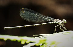 Damselfly. female of Platycnemididae