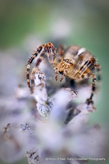 Itsy Bitsy Spider (Gary Grossman) Tags: lavender flower spider nature wildlife macro beauty closeup summer september oregon northwest garden garygrossman garygrossmanphotography pacificnorthwest naturephotography macrophotography grassspider