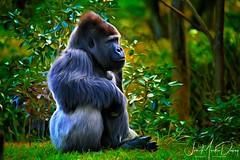 Watching the game. (QuakerVille) Tags: silverback gorilla bigmonkey miamizoo jonmarkdavey miami fl
