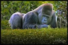 Counting Clovers (QuakerVille) Tags: silverback bigmonkey miamizoo gorilla florida canon 5d mark iii