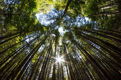 1908_7202 Forest (wild prairie man) Tags: forest landscape trees temperaterainforest sun star secondgrowth wild woods lookingup rokinon8mm fisheyelens ultrawide beautiful portalice vancouverisland bc britishcolumbia canada copyrighted jamesrpage explored