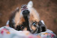 Dingo (Masterdreams) Tags: dog dogs fotografiademascotas petphotography petphotographer australianshepherd pastoraustraliano masterdreams canon hound ikercortabarria