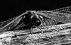 Darter Mono (ianbartlett) Tags: outdoor 365 nature wildlife birds dragonflies grasses leaves monochrome closeup colour shadows light