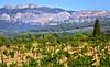 vignes et Dentelles de Montmirail... Reynald ARTAUD (Reynald ARTAUD) Tags: 2019 fin août occitanie provence dentelles montmirail vignes reynald artaud
