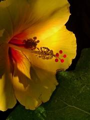 Post-Op Garden (Chic Bee) Tags: earlyautumn blooming arizona tucson morning garden yellowhibiscusflower