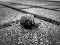 From the sidewalk perspective (wojciechpolewski) Tags: blanconegro blancoynegro blackwhite blackandwhite photos photo snail nature artisticphoto