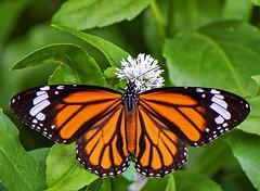 Danaus genutia (Changer4Ever) Tags: 虎斑蝶 danausgenutia nikon d750 1050mmf28 butterfly insect animal life nature wild wildlife wings macro closeup dof depthoffield color colorful