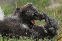 arctic fox Blijdorp 094A0605 (j.a.kok) Tags: animal arctic arcticfox noordpool northpole mammal zoogdier dier vos fox poolvos pool blijdorp