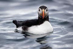 Stare Down (RH Miller) Tags: rhmiller reedmiller wildlife bird puffin atlanticpuffin svalbard
