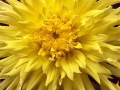 Solar flair (AndreaMSmithPortugal) Tags: macro dahlia autumn flowers ngysaex