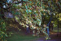 Cherry tree (Andž) Tags: filmphotography kodak ektar100 ektar minolta x700 film filmisnotdead ishootfilm analog analogphotography mdrokkor rokkor tree nature cherry