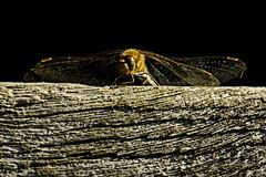 Perched Darter (ianbartlett) Tags: outdoor 365 nature wildlife birds dragonflies grasses leaves monochrome closeup colour shadows light