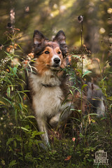 Picture of the Day (Keshet Kennels & Rescue) Tags: adoption dog dogs canine ottawa ontario canada keshet large breed animal animals kennel rescue pet pets field nature autumn fall photography border collie sheltie mix shetland sheepdog peek undergrowth bush paw up