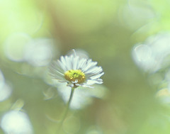 Daisy (graemes83) Tags: flower bokeh daisy soft glow nature natural yellow green plant