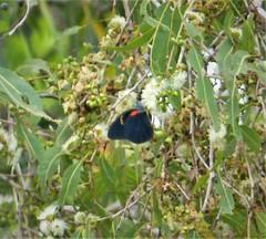 Delias aruna ssp inferna. male Orange Jezebel