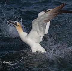 Gannet (drbut) Tags: gannet morusbassanus seabird cliffs avian sea birds bird wildlife nature