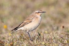 northern wheatear (ianbollen) Tags: england dorset portland bird wheatear