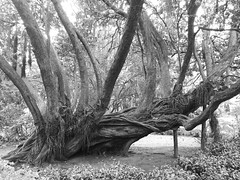 Old tree (Thierry GASSELIN) Tags: tree arbre monochrome nb bw