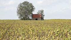 Rural Petty Architecture 1 (Bernd Walz) Tags: fieldscape field landscape countryside rural transformedlandscape artificiallandscape sunflowers