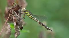 Blue Hawker - Aeshna Cyanea (visualstripes) Tags: dragonfly odonata insect invertebrate libel nature panasonicg1 microfourthirds sigma105mm macro wideopen f28 bokeh 2018