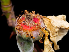 Rose (Eerika Schulz) Tags: rose garten herbst eerika schulz