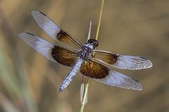 Widow Skimmer (Eric Gofreed) Tags: dragonfly libellulaluctuosa widowskimmer pagespringsarizona