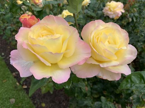 Rosen im Schloßpark Gavnø