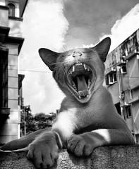 Just Yawn (sharmi_diya06) Tags: streetphotography street portrait letsexplore animal cat action blackandwhite outside nature sky