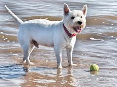 My beautiful boy (Artybee) Tags: westie westitude west highland white terrier dog ball fetch fu sea splash beach mablethorpe lincolnshire