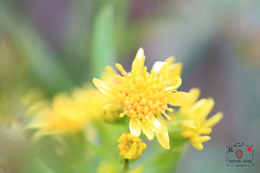 Morrisor Stonecrop (~金玉~ Y.C.CHEN) Tags: canon color colorful beautiful bokeh green light nature plant outside outdoor marco
