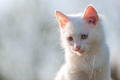 K III (04) - Ćupko (Vlado Ferenčić) Tags: croatia catsdogs cats kitty kittens kittysuperstar animals animalplanet vladoferencic vladimirferencic hrvatska klenovnik nikond90 sigma15028macro closeup
