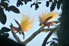Lesser Bird of Paradise (Paradidaea minor)