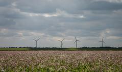 Flower beauty in the polder