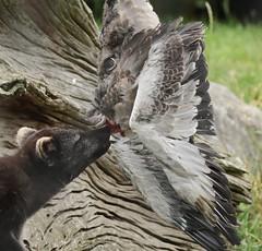 arctic fox Blijdorp 094A0516 (j.a.kok) Tags: animal arctic arcticfox noordpool northpole mammal zoogdier dier vos fox poolvos pool blijdorp