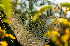 Black and Yellow Orb Weaver Spider (rigpa8) Tags: spiders arachnids orbweavers autumn webs spiderwebs nature insects coth5 ngysaex