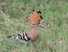 Common Hoopoe (Koshyk) Tags: hoopoe commonhoopoeupupaepops dhanauri greaternoida birdwatcher
