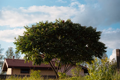 Sumac tree (Andž) Tags: filmphotography kodak ektar100 ektar minolta x700 film filmisnotdead ishootfilm analog analogphotography mdrokkor rokkor tree nature