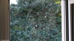 Toile d'épeire diadème (patrick68110) Tags: araignée épeire arachnide toile
