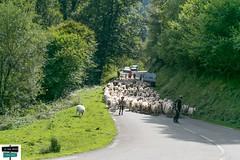 Retour d'Estive (https://pays-basque.coline-buch.fr/) Tags: brebis valléedubarétous arette retour estives route nature béarn colinebuch campagne france