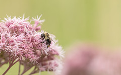 Bumblebee (Alexandre Légaré) Tags: bumblebee humblebee bumble bee insect bug bourdon insecte animal nature flower fleur nikon d7500 quebec canada