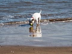 7CD94CB0-F19E-41DB-B4D0-8667F7EA68C5 (Artybee) Tags: westie westitude west highland white terrier dog ball fetch fu sea splash beach mablethorpe lincolnshire
