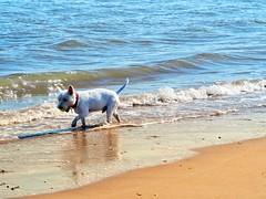 1757B9E1-1ABC-40A9-9951-43CD03237B99 (Artybee) Tags: westie westitude west highland white terrier dog ball fetch fu sea splash beach mablethorpe lincolnshire