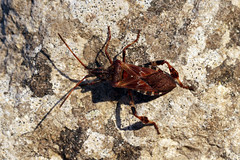 Western Conifer Seed Bug (Leptoglossus occidentalis) (nutmeg66) Tags: leptoglossusoccidentalis westernconiferseedbug garden lincolnshire bug bugs september 2019 insect insects nature wildlife