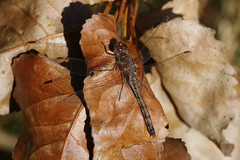 Autumnal Common Darter (Hugobian) Tags: dragonfly dragonflies odonata insect nature wildlife fauna animal pentax k1 paxton pits reserve autumn common darter
