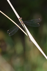 Willow Emerald (Hugobian) Tags: dragonfly dragonflies odonata insect nature wildlife fauna animal pentax k1 paxton pits reserve willow emerald damsel fly