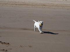 FB34CBD6-06CB-46A1-BAF2-0FAF29534847 (Artybee) Tags: westie westitude west highland white terrier dog ball fetch fu sea splash beach mablethorpe lincolnshire