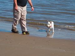 2B4FE38D-21C6-415C-AAFD-B1DA5B04CDFD (Artybee) Tags: westie westitude west highland white terrier dog ball fetch fu sea splash beach mablethorpe lincolnshire
