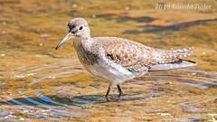 Solitary Sandpiper  IMG_7186 (ronzigler) Tags: solitary sandpiper wildlife nature birdwatcher shorebird avian bird